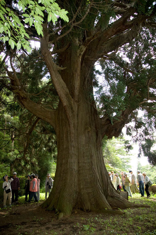 南部町・田子町方面の巨木めぐりをしました。これは、法光寺の爺杉です。