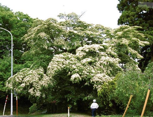 こちらは、八戸市南郷区にある幹周2.27mのヤマボウシです。保存樹木に指定されています。
