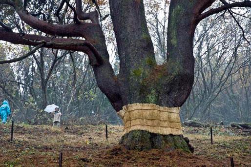 三頭木のアカマツで秋田県で一番大きな松です。