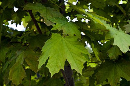 絶滅危惧種のクロビイタヤと思われる樹でした。 場所は秘密にして置きます。