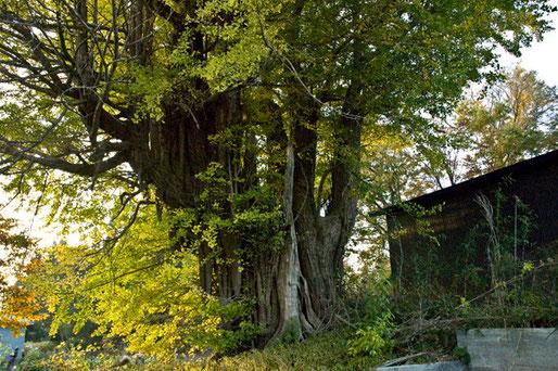 11月4日 鳥谷部のイチョウは来週ごろ黄葉がピークのようです。