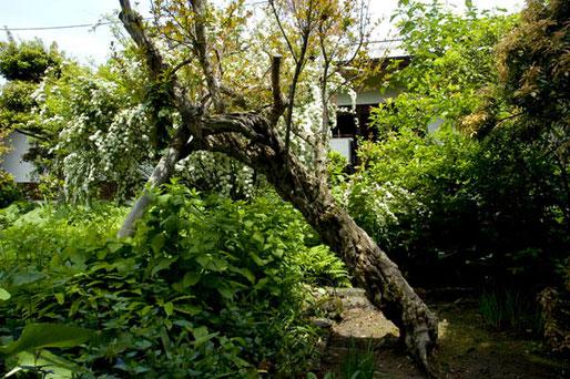 ザクロの巨木(高橋家)