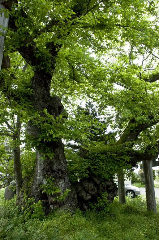 コブニレ三頭木の山ノ神、一本は倒れていました 幹周9.25m(岩手日報社・岩手の名木・巨木)