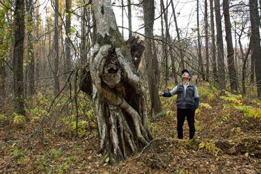 通常シラカバは、根が浅く群れているのですが、このシラカバは1本だけで根も長く大変珍しい樹です。