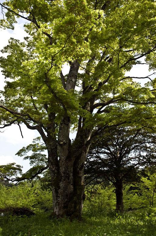 カエデの三頭木 幹周約4m
