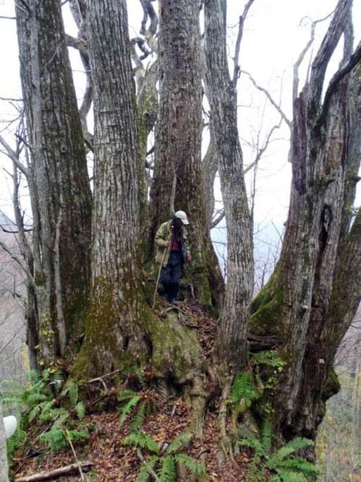 10月30日 白神山地NHK取材 総勢11名  写真は国内最大級の「一ツ森のカツラ」と白神の仙人(板屋会員)