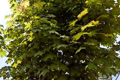 樹高は5〜6mぐらいでしょうか