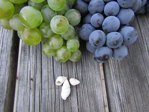 Weiße und rote Trauben mit jahrmillionen alten Meeresmuscheln, direkt aus dem Weinviertler Boden.