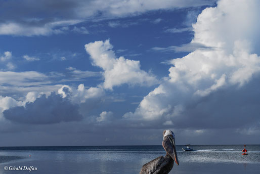 Pélican dans la rade de Port-Louis, Guadeloupe