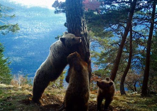 Les noves imatges de l'óssa Hvala i els seus dos cadells, arrepenjats en un arbre