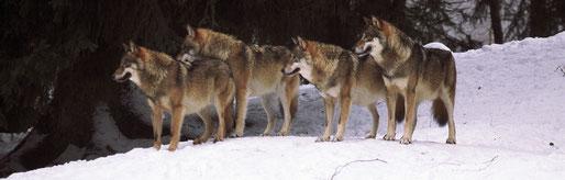 Gesllschaft zum Schutz der Wölfe e.V.