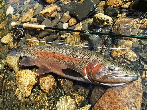 初夏とはいえ雪代の残る川で釣れた1尾。頬はまだ赤く、春の雰囲気が色濃く残っている。