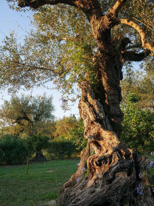 Olivenbäume soweit das Auge reicht.