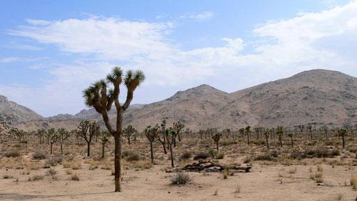 die Joshua Trees im gleichnamigen NP in der Wüste Kaliforniens