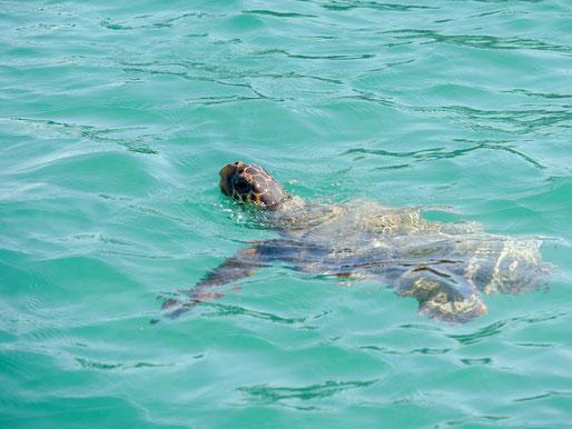 Griechenland Zakynthos Karettschildkröte