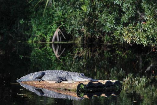 Die Everglades und seine unzähligen Krokodile