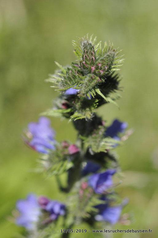 Bouton de fleurs de la vipérine, Cévennes