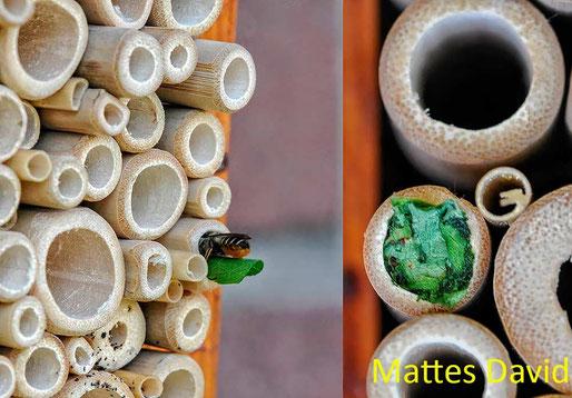 Insektenhotel Nisthilfen Insektennisthilfen Schilf Bambus Blattschneiderbiene insect nesting aid insect hotel bamboo leafcutter bee