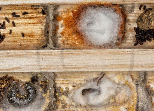 Verpilzte Brutzellen und abgestorbene Larven der Rostroten Mauerbiene (Osmia bicornis)