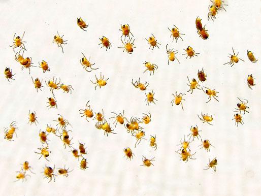 Jungspinnen Gartenkreuzspinne Aranaeus diadematus