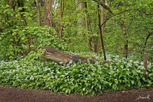 Totholz Bärlauch Naturschutzgebiet Petite Camargue Alsacienne
