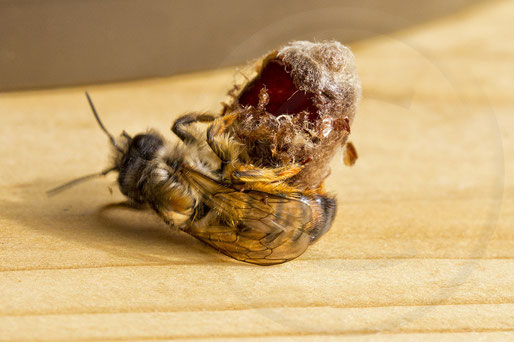 solitary bee wildbee insect hotel red mason bee hatch cocoon chrysalis Schlupf Kokon Rote Mauerbiene osmia bicornis