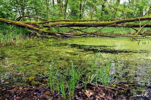 Teichlinse Totholz Naturschutzgebiet Petite Camargue Alsacienne