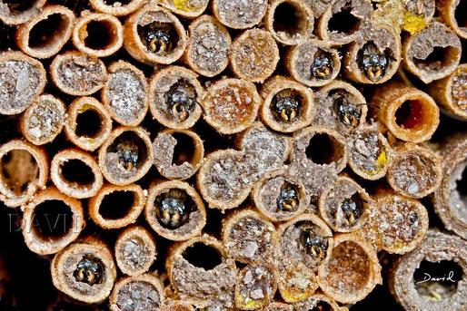Scherenbiene Insektenhotel Insektennisthilfe Strohhalme Niströhre  insect nesting aid insect hotel  straws scissor bee