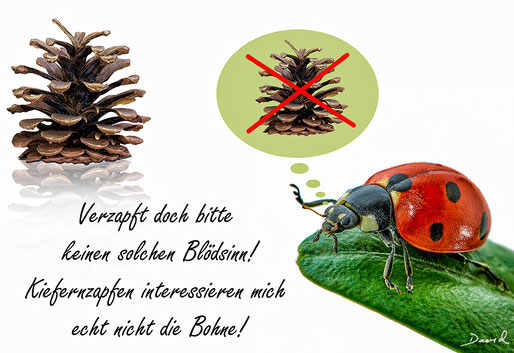 Marienkäfer Kiefernzapfen Insektenhotel Coccinellin Reflexbluten Warnfarben  Ladybug Ladybeetle insect hotel beehouse