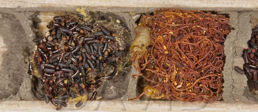 """Links der """"Schokostreusel""""-Kot einer Mauerbiene, der den darunter liegenden Kokon komplett bedeckt, rechts die Larven der Taufliege Cacoxenus indagator  mit den typischen spaghettiförmigen, rötlichen Kotschnüren"""