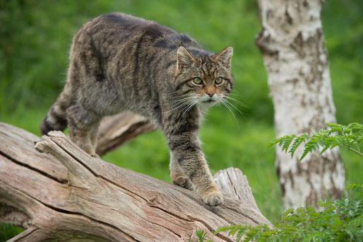 Katzen jagt trotz Zahnschmerzen Arthrosen