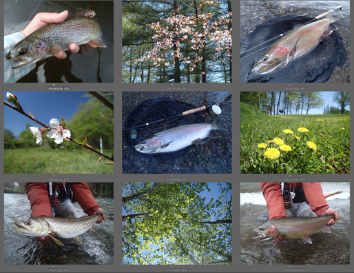 """5月は半ばも過ぎると新緑の季節。庭の木立にハンモック吊るしてのんびりしたり、テント張って""""庭キャン""""したりしました。ウェブサイトのカバーにぴったりの魚は釣れたのですが、時勢ゆえ、更新しませんでした。川は雪代しだいのところはありますが、5月は何かと楽しいですよ。エゾヤマザクラ、ウメ、セイヨウタンポポの花がすでに懐かしい。"""