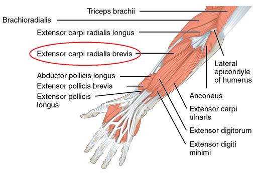 *赤い丸で囲んであるのが短橈側手根伸筋です