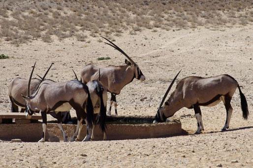 Oryx Antilopen am Wasserloch