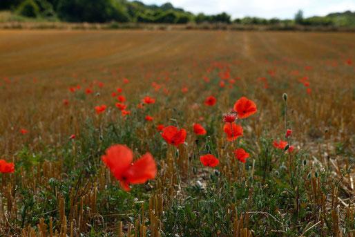 Mohnfelder in der Normandie