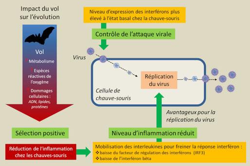 Les chauves-souris présentent un excellent équilibre entre les réponses de défense de l'hôte améliorées et la tolérance immunitaire par le biais de plusieurs mécanismes.