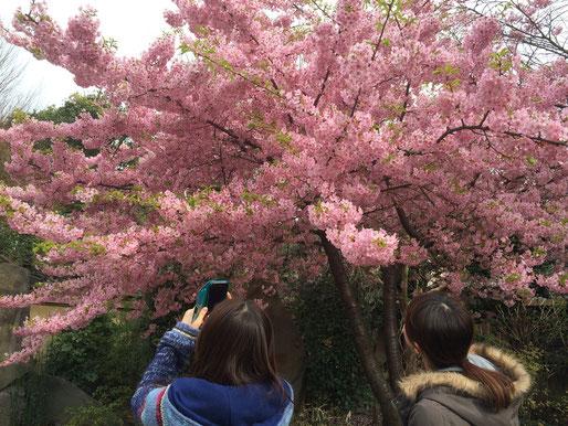 新井薬師寺 梅照院さんの桜も梅も満開です★