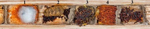Insektenhotel Nisthilfe Insektennisthilfe Kokon Mauerbiene Cacoxenus