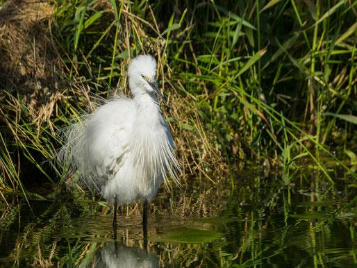 Aigrette garzette oiseau Sénégal Afrique Stage Photo J-M Lecat Non libre de droits