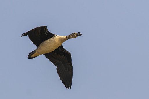 Canard à bosse, oiseau, Sénégal, Afrique, safari, stage photo animalière, Jean-Michel Lecat, photo non libre de droits