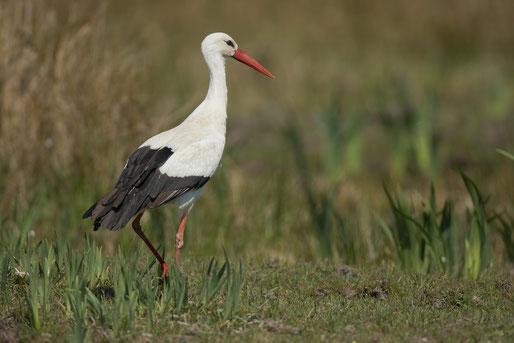 Cigogne blanche, oiseau, Sénégal, Afrique, safari, stage photo animalière, Jean-Michel Lecat, photo non libre de droits