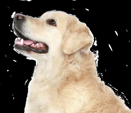 Golden-Retriever auf der Seite Einzeltraining der Hundeschule MOMO - Hundeschule Bremen & Lilienthal