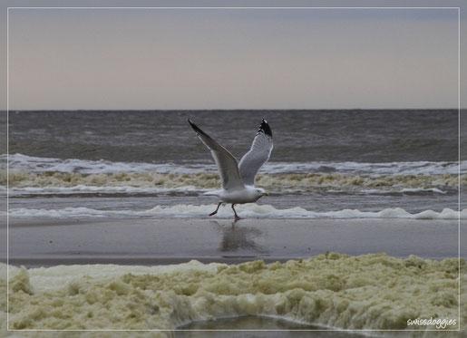 Möwe am Strand von Noordwijk
