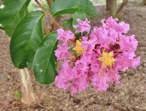 8月4日(2020) 夏の花:長い梅雨があけると猛暑の日々が待っていました。道ばたのサルスベリは夏の花らしく元気いっぱいに咲いています