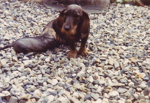 """""""Buschka vom Wilden Eber"""" mit meinem ersten selbst gezogenen Welpen """"Ambo vom Kaufunger Wald"""", 1986"""