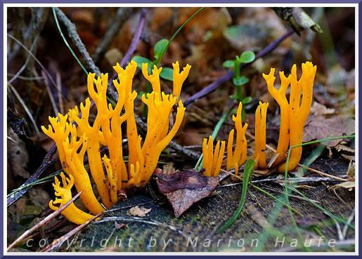 Spuren der früheren Harzung an einer Waldkiefer alten (Pinus sylvestris).