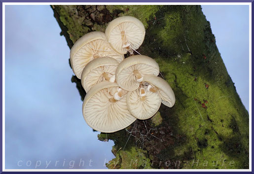 Nach Regenperioden verzieren Buchen-Schleimrüblinge (Oudemansiella mucida) den Wald.