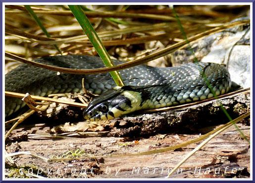Im Frühsommer zieren blühende Wasserfedern (Hottonia palustris) die Erlenbrüche am g-Gestell.