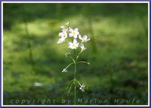 Die filigrane Wasserfeder ist eine typische Pflanze der Darßer Erlenbrüche.