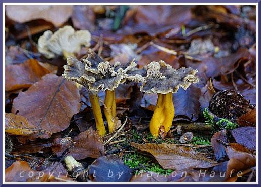 Gelbstielige Trompetenpfifferlinge (Cantharellus tubaeformis var. lutescens) fallen im herbstlichen Darßwald kaum auf.